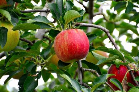 長野 りんご狩り