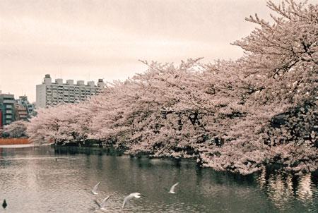 上野公園 花見