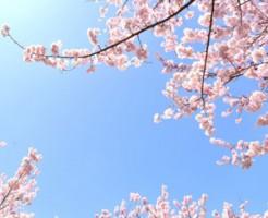 昭和記念公園 花見