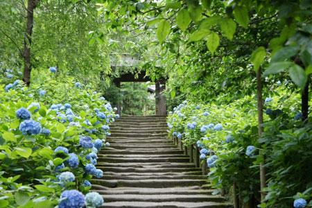 鎌倉 明月院 紫陽花